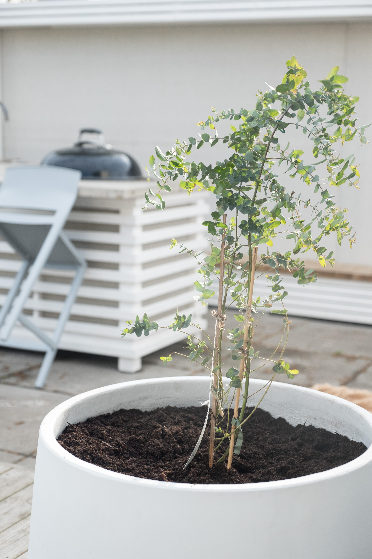 Eukalyptus i kruka utomhus | Trädgård